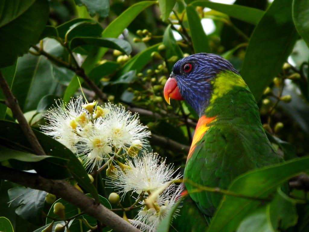 kakadu plum aboriginal australia