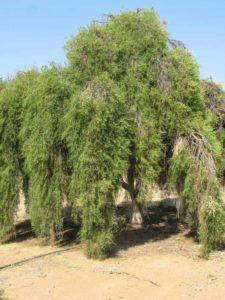 Eremocitrus_glauca_desert lime aboriginal australia