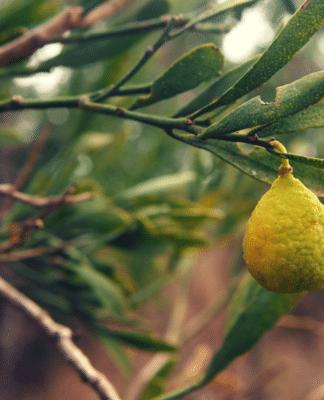 aboriginal desert limes super food australia