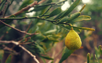 aboriginal desert limes super food australia