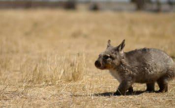 dave laslett wombat aboriginal bush food meat