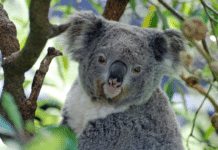 koala mainstream stolen aboriginal words