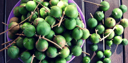macadamia nuts australian aboriginal bush food superfood