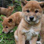 dingo puppies puppy aboriginal dingo facts australia