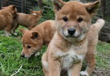 dingo puppies puppy aboriginal dingo facts australia