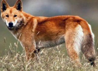 dingo wolf or wild dog