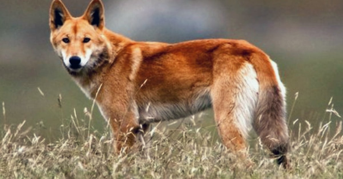 dingo wolf or wild dog