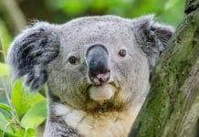 koala aboriginal words australia