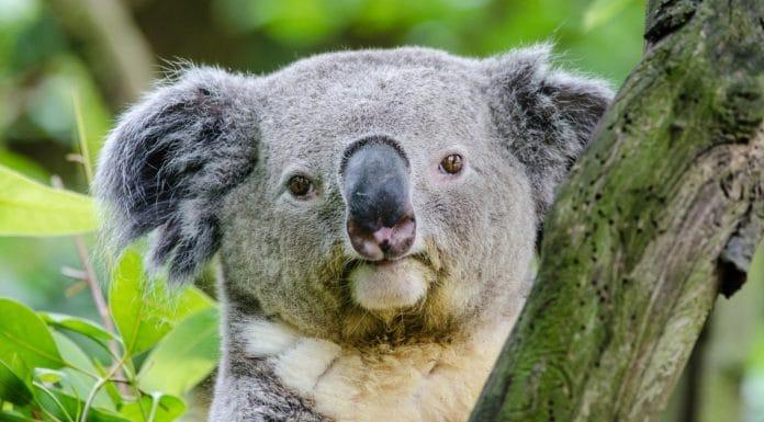 koala aboriginal words australia