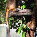 Boongary Lumholtz's tree kangaroo