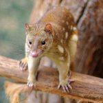 Spotted_Tail_Quoll