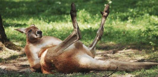 kangaroo facts aboriginal australia